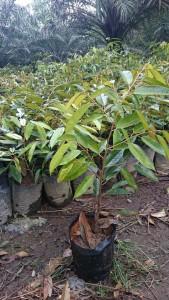 bibit durian bintana